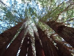 redwoods9.jpeg