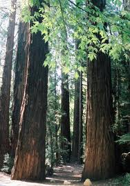 redwoods_-_port.jpeg